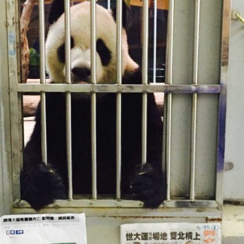 Taipei Zoo releases photos of panda after rumours of death