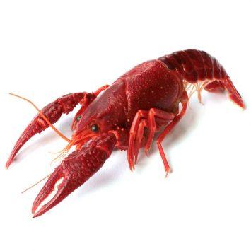 Crayfish-w