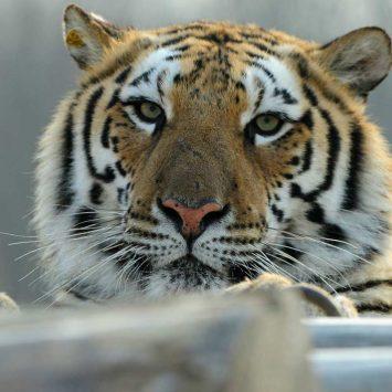 Tiger-w