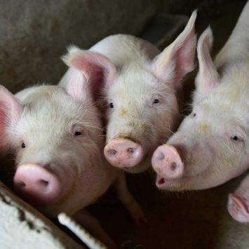 Pigs-w